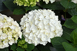Blushing Bride® Hydrangea (Hydrangea macrophylla 'Blushing Bride') at Stein's Garden & Home