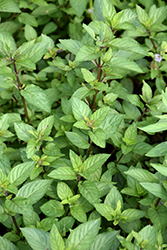 Chocolate Mint (Mentha x piperita 'Chocolate') at Stein's Garden & Home