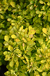 Tiny Gold Barberry (Berberis thunbergii 'Tiny Gold') at Stein's Garden & Home