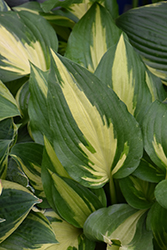 Christmas Candy Hosta (Hosta 'Christmas Candy') at Stein's Garden & Home