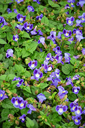 Catalina Midnight Blue Torenia (Torenia 'Catalina Midnight Blue') at Stein's Garden & Home