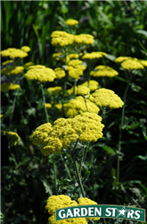 Moonshine Yarrow (Achillea 'Moonshine') at Stein's Garden & Home